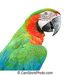 Harlequin Macaw - Colorful Harlequin Macaw aviary, back...