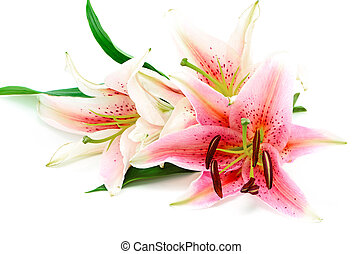 lily - Beautiful pink lily, isolated on white