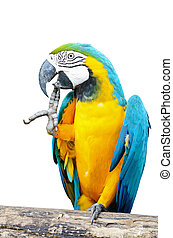 Blue and Gold Macaw isolated - Blue and Gold Macaw aviary,...