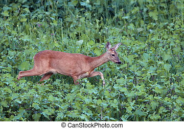 roe deer doe walking tranquil - roe deer doe capreolus...