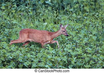 roe deer doe walking tranquil - roe deer doe ( capreolus )...