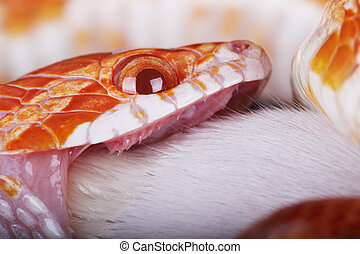 corn snake - a great corn snake eating a little mouse