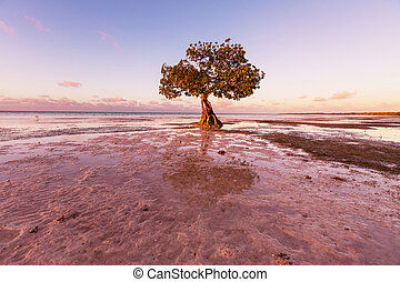Mangrove - Lonely Mangrove tree in Florida coast