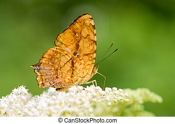 Brush-footed butterfly (Symbrenthia lilaea formosanus,...