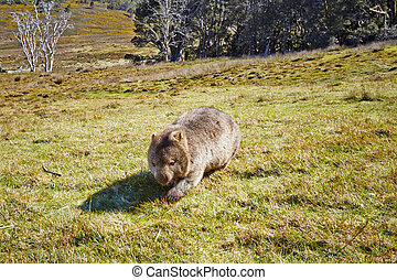 Wombat on the move - Wombat crossing grasslands in the...