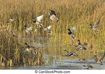 Ducks - A flock of ducks taking flight from a wetland