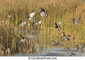 Ducks - A flock of ducks taking flight from a wetland