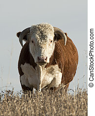 Hereford Bull - A purebred Hereford Bull in a pasture