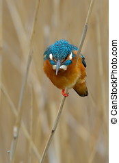 kingfisher alcedo atthis in natural habitat
