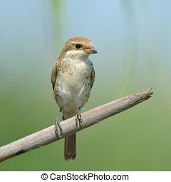 red-backed shrike Lanius Collurio - red-backed shrike in...