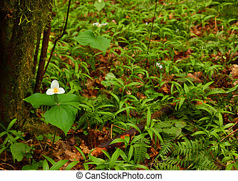 Trillium Ovatum - Portrait of Western trilliums during the...