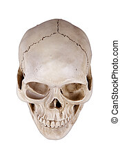 skull - Human skull cranium isolated on white background