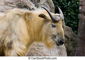Sichuan takin climbing on rocks and looking
