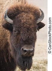 portret, amerykanka, bizon
