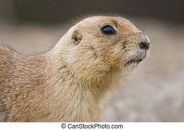 Prairie dog looking watchful
