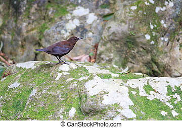 Brown Dipper (Cinclus pallasii) in Japan