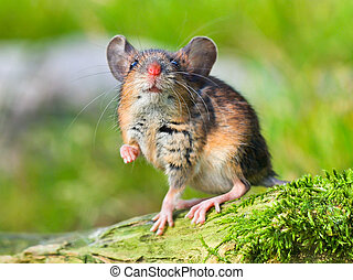 Field Mouse (Apodemus sylvaticus) on the Forest Floor in...
