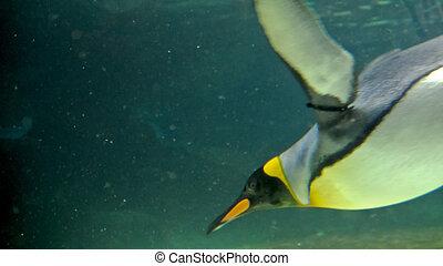 Emporer penguin swimming in the ocean
