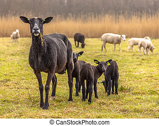 Black Sheep Family - Mother with her frisky young sheep in...