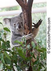 australiano, Koala, Montañismo, gumtree