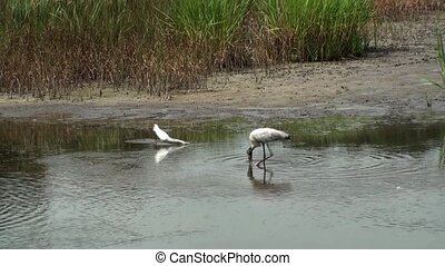 Egret And Wood Stork Feeding
