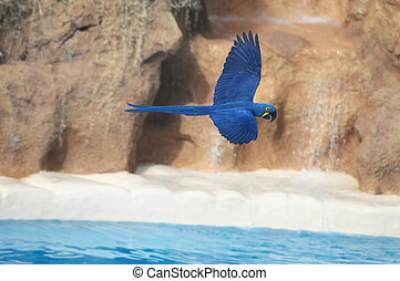 Blue Colored Tropical Parrot Bird in Flight