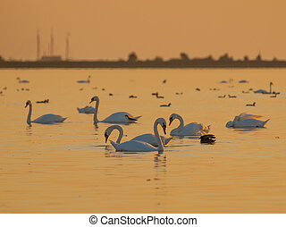 Orange Light Swans - Swans and other Waterfowl under Orange...