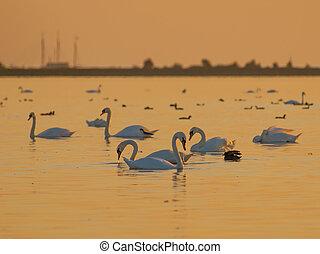 Orange Light Swans - Swans and other Waterfowl under Orange...