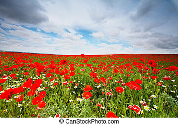 Flowers field - Beautiful field with wild poppies in Spain...