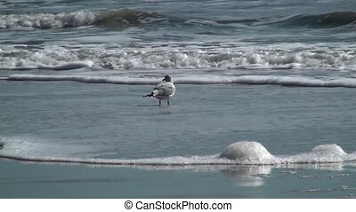 Single Sea Gull Watching The Surf - Single Sea Gull watching...