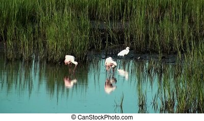 Spoonbills Egret and a Ibis in the marsh