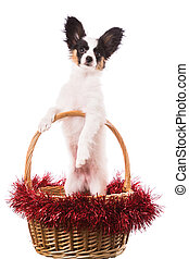 papillon puppy sitting in Christmas basket on isolated white...