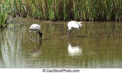 Two Wood Storks Feeding - Two Wood Storks feeding during low...