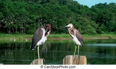 Two young Herons on a post