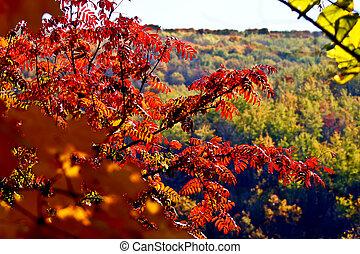 bosque, otoño, hojas,  Acacia, Plano de fondo