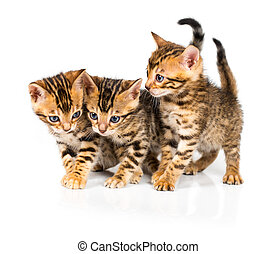 Three Bengal kitten with reflection on white