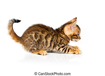 Bengal kitten with reflection on white background