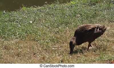 Brown duck on grass (Animals) - Brown duck walking and...