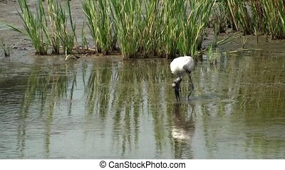 Wood Stork Eating in the marsh