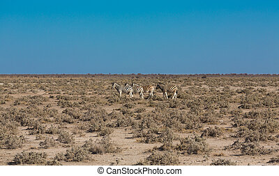 Zebras in the savannah - Side view of group of zebras in...
