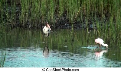 Wood Stork taking flight