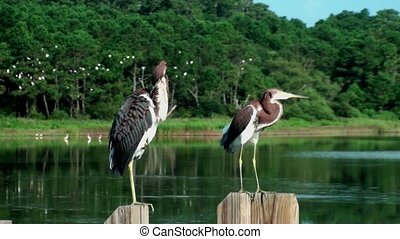 Young Herons at the marsh