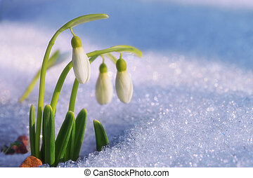 First snowdrops - The first snowdrops ascended from under...