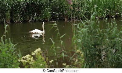 Swan in a pond (Animals)