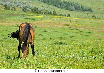 grazing horse - cute brown horse grazing at green meadow