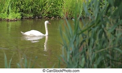 Swan in a pond Animals