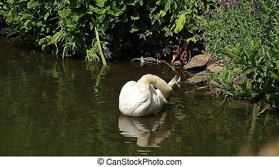 Swan in a pond Animals - Swan in a pond, cleaning itself
