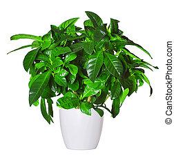 brote, Gardenia, potted, planta, aislado, encima, blanco