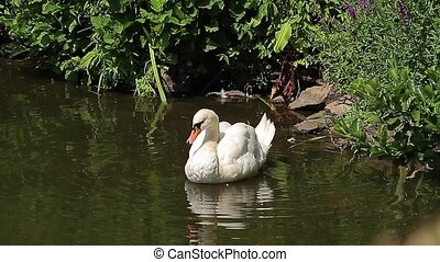 Swan in a pond (Animals) - Swan in a pond, cleaning itself