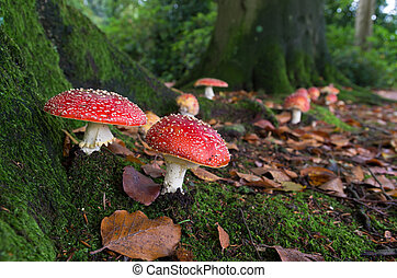 mushrooms in forest - red agaric fly mushrooms on a tree in...